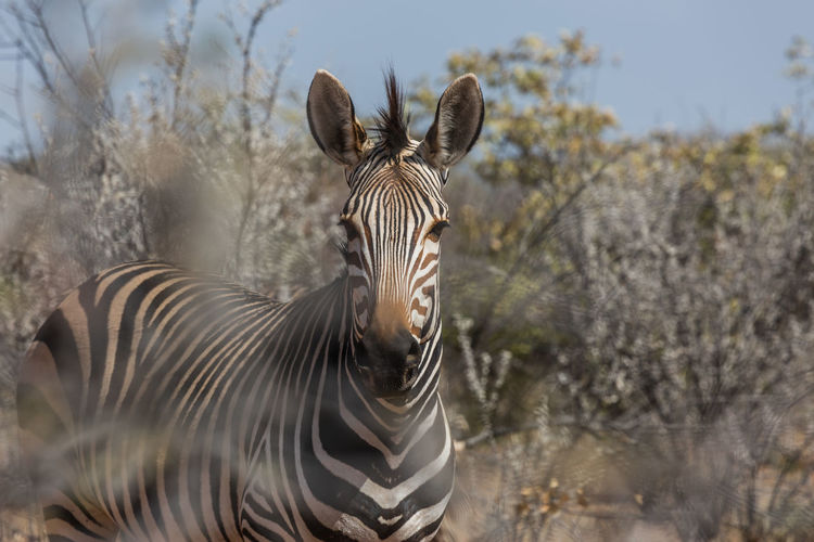 Animal Animal Wildlife Etosha National Park Mammal Namibia Nature Outdoors Zebra