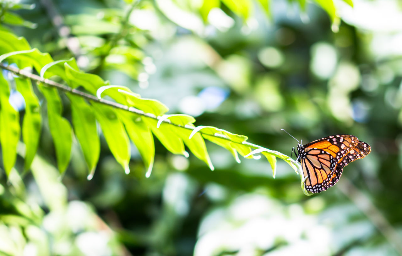 insect, animals in the wild, one animal, animal themes, butterfly - insect, focus on foreground, animal wildlife, nature, no people, green color, leaf, close-up, day, outdoors, plant, beauty in nature, fragility, perching, freshness