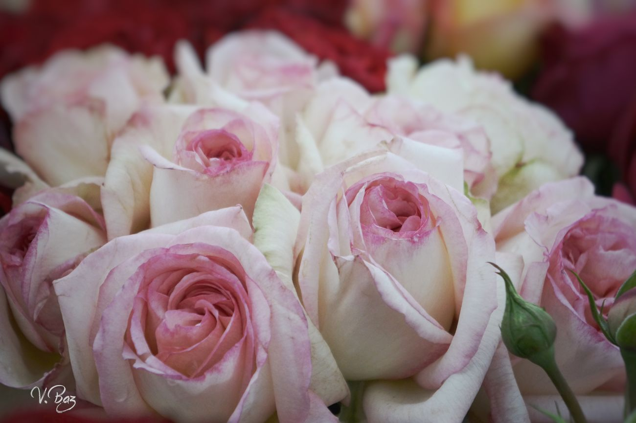 Happy friday 🙌 at the market... Close-up Flower Head Rose - Flower Pink Color Freshness Nature Fragility Plant Day Flower Petal EyeEm Nature Lover Rose🌹 Marketplace Flowers EyeEm Gallery Quiet Moments Walking Around The City  Urban Exploration Rose Collection No People Roses Flowers