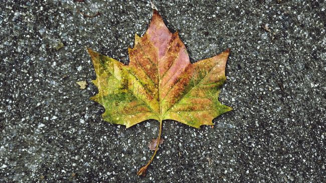 Autumn Leaf High Angle View Water Change Maple Leaf Directly Above Close-up Wet No People Rain Maple Nature Day Fragility Outdoors Autumn Colors Taking Pictures Taking Photos Focus Shmocus Leaves_collection