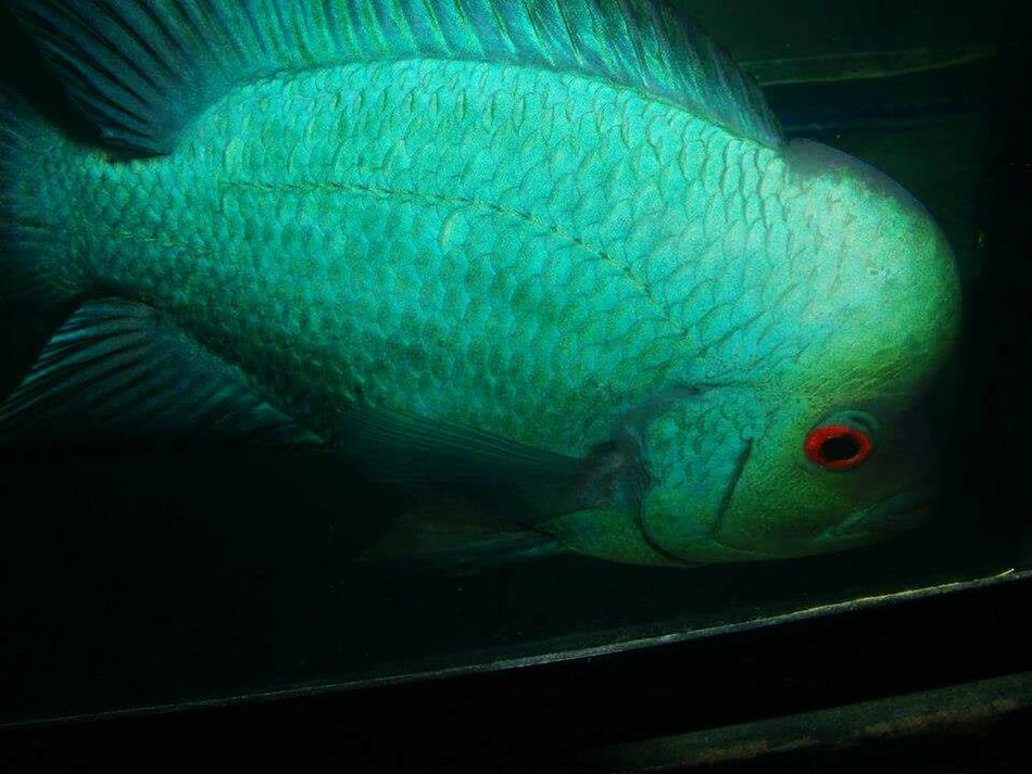 One Animal Animal Body Part Animal Animal Head  Animal Wildlife Green Color Blue Animals In The Wild Peacock Animal Themes No People Close-up Bird Beauty Peacock Feather UnderSea Nature Beauty In Nature Outdoors Day Flowerhorn Fish Flowerhorn Flowerhornfish Louhans Louhan
