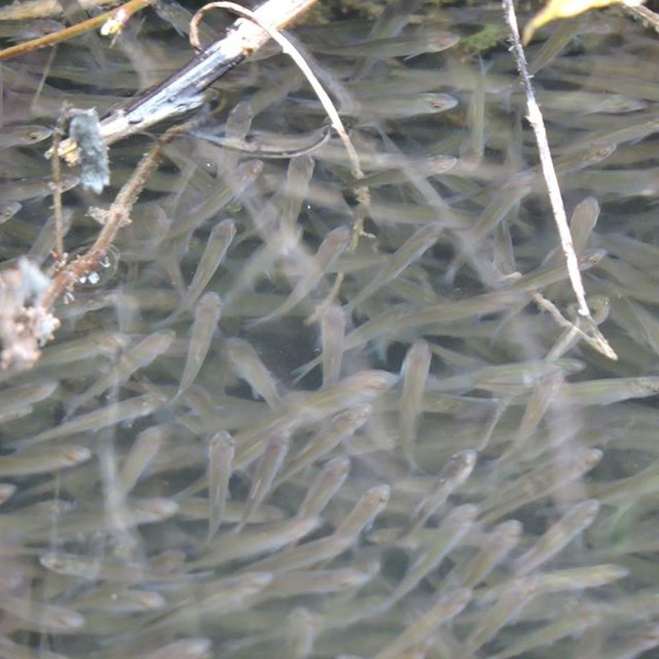 The pike are totally obsessed with the massive shoal of roach fry they have hearded into a corner. There are literally millions of them, it's like watching dolphins or baracuda on a nature programme smashing in to a bait ball!! Roach Roachfry Pike Perch Esox Esoxlucious Preyfish Nature Whilewewait EyeEm Nature Lover