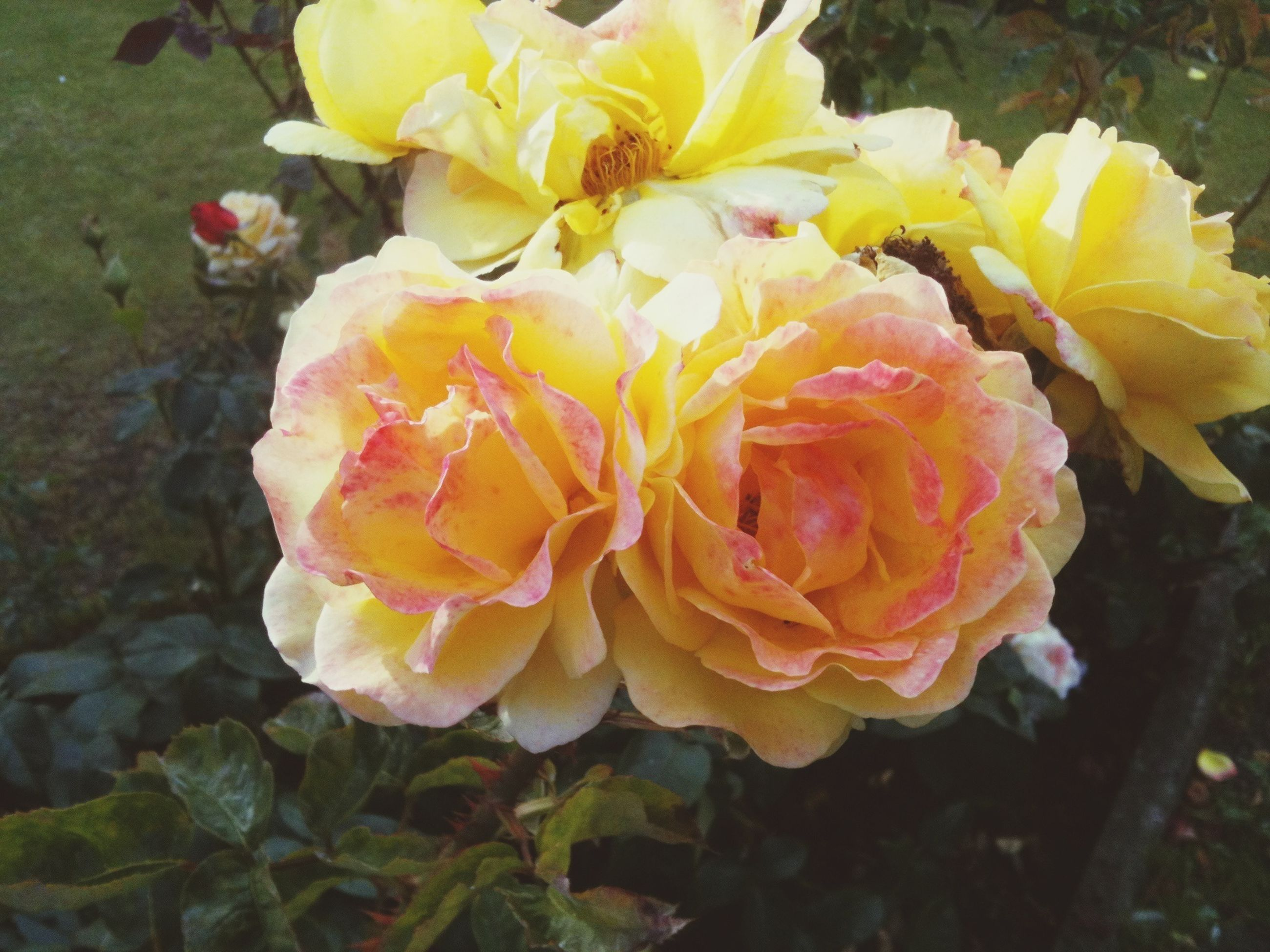 flower, petal, flower head, fragility, freshness, rose - flower, beauty in nature, close-up, blooming, growth, nature, yellow, in bloom, plant, high angle view, water, rose, single flower, drop, wet