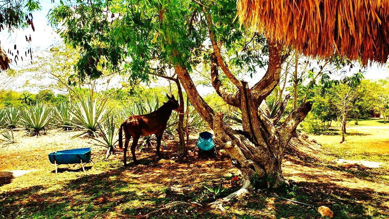 Tree Nature Animal Themes Domestic Animals No People Branch Animals In The Wild Haciendasmexicanas Yucatan Mexico Outdoors Henequén