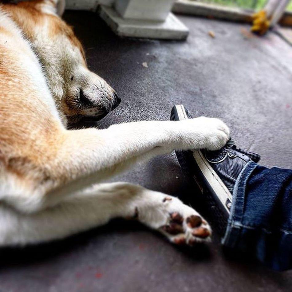 Mansbestfriend Hachiko Hachi Japaneseakitainu Akita Dog Love Beautifulday OnThePorch PuppyLove Dogs Dog Lovethis