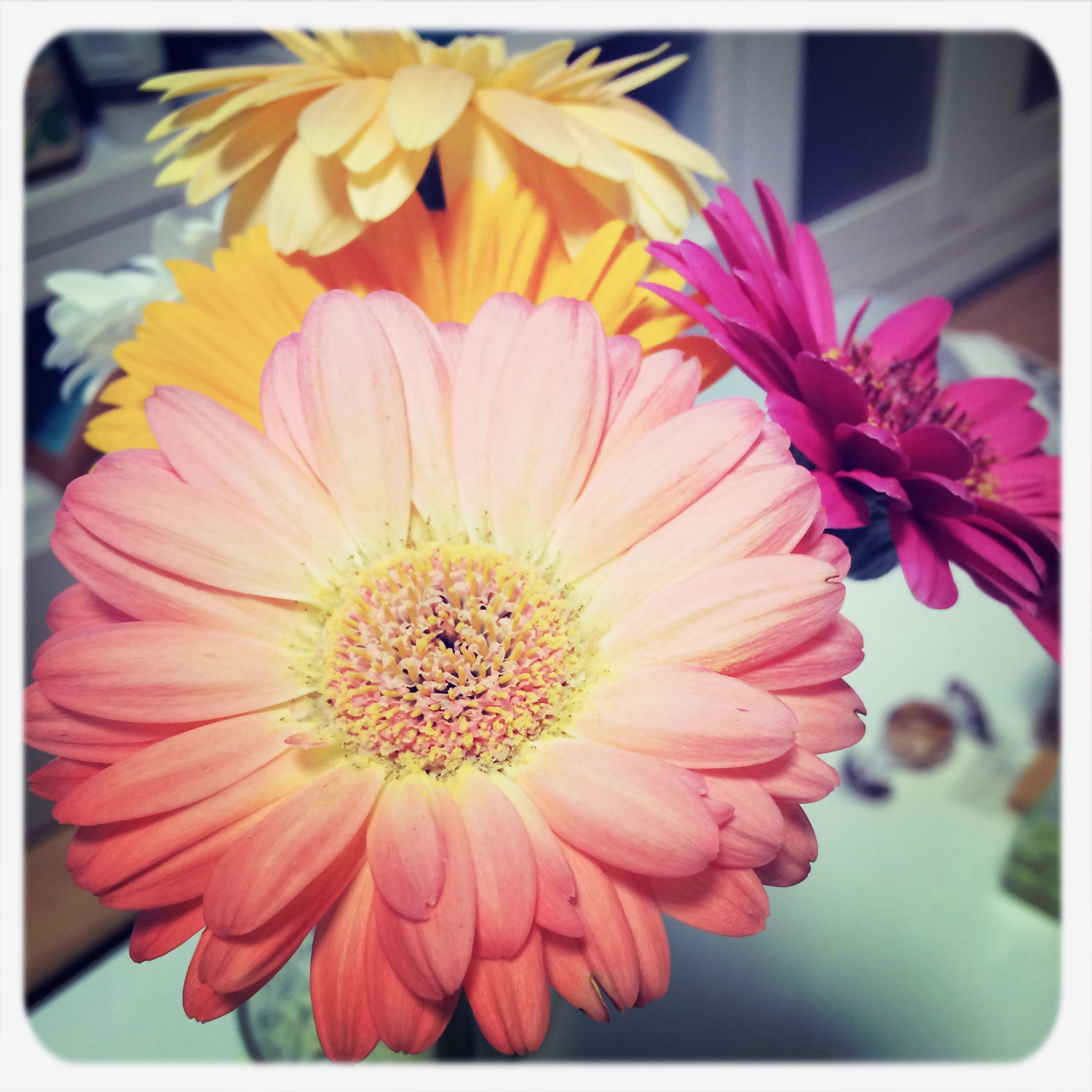 flower, petal, transfer print, freshness, flower head, fragility, auto post production filter, close-up, focus on foreground, beauty in nature, blooming, pollen, growth, nature, yellow, pink color, in bloom, indoors, day, no people