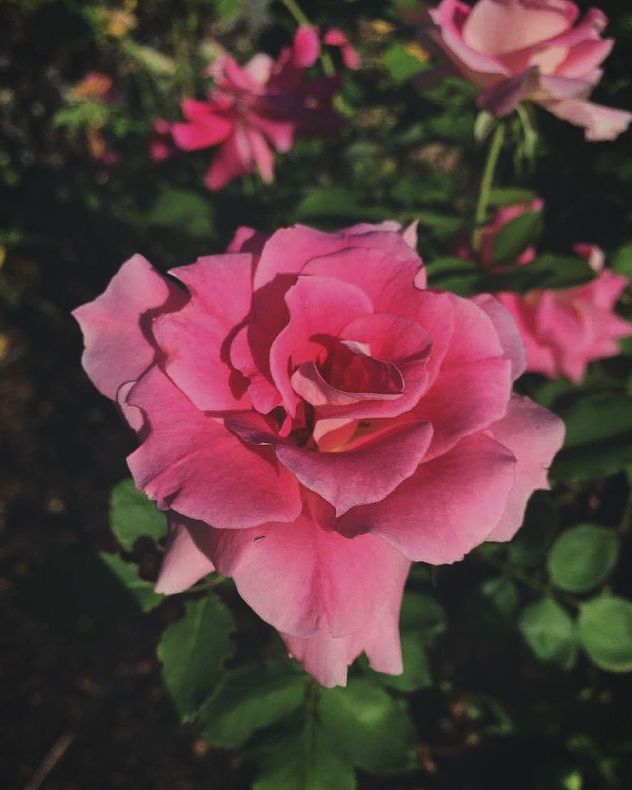 Flower Beauty In Nature Pink Color Pretty ın Pink
