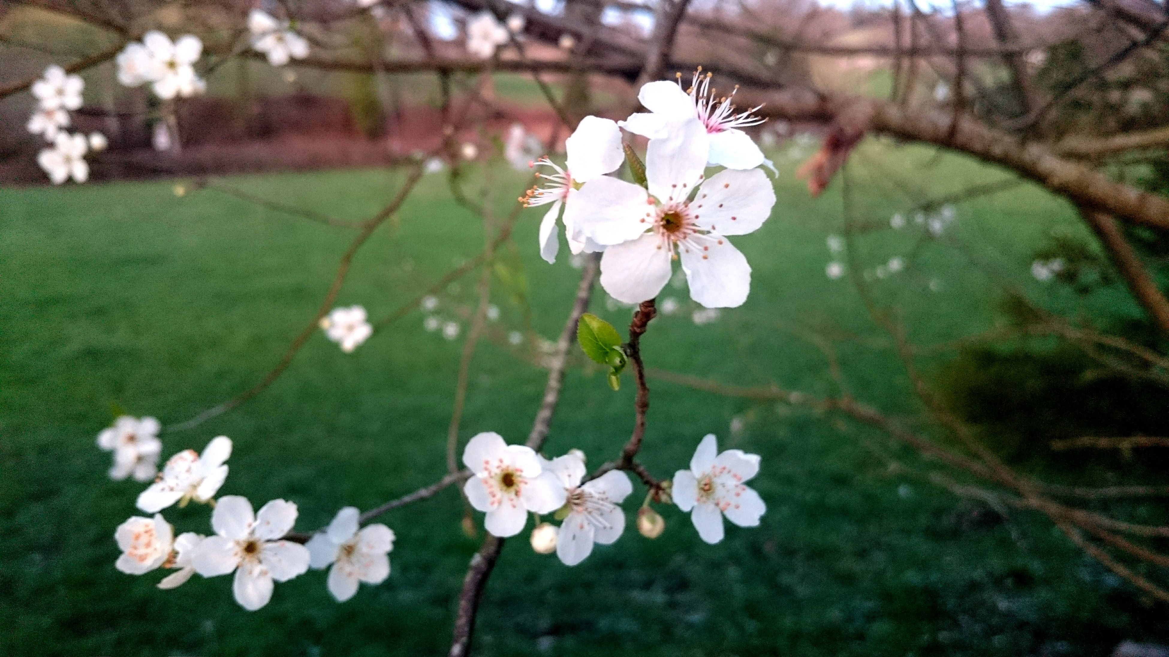 flower, freshness, fragility, growth, beauty in nature, petal, white color, blossom, nature, blooming, flower head, in bloom, tree, branch, springtime, plant, botany, stem, focus on foreground, day