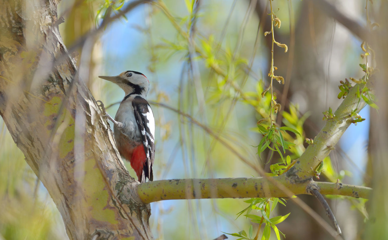A male great spotted woodpecker (Dendrocopos major) Animal Themes Animal Wildlife Animals In The Wild Bird Branch Day Nature No People One Animal Outdoors Perching Tree Woodpecker In Tree