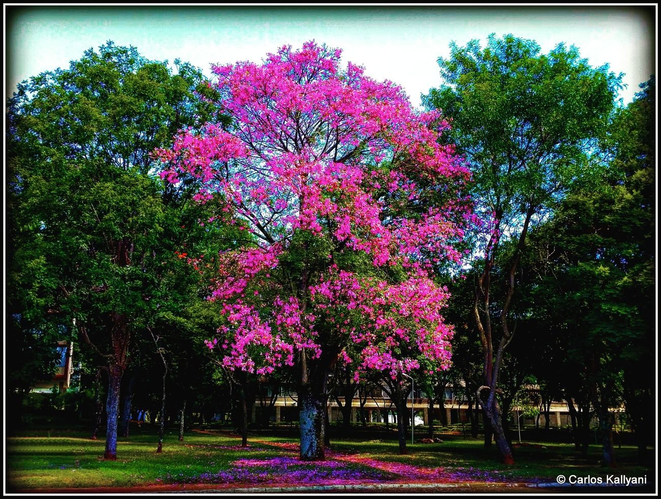 Aniba Rosaeodora. Brasília Tree No People Brasília - Brazil Foto Photo Brasília Photography Fotografia Fotoartegram Fotoarte