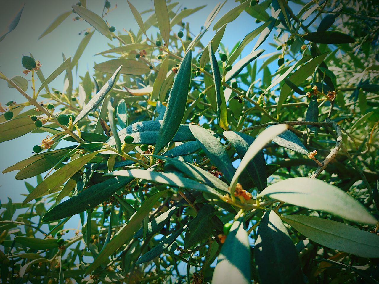 Taking Photos Check This Out Hello World Natures Diversities Natural Beauty Naturelovers Nature Nature_collection EyeEm Nature Lover Nature Photography EyeEm Gallery EyeEm Best Shots - Nature Eyeemphotography Naturesdiversities EyeEm Best Shots The Great Outdoors - 2016 EyeEm Awards Olive Tree Olive Buds Mediterranean Food Mediterranean  Mediterrian Mediterrianfood Mediterranean Landscape Mediterranean Nature Mediterranean Plants