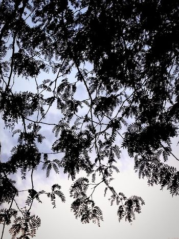 Tree Nature Low Angle View Sky Branch Outdoors Beauty In Nature No People Silhouette Day Clear Sky