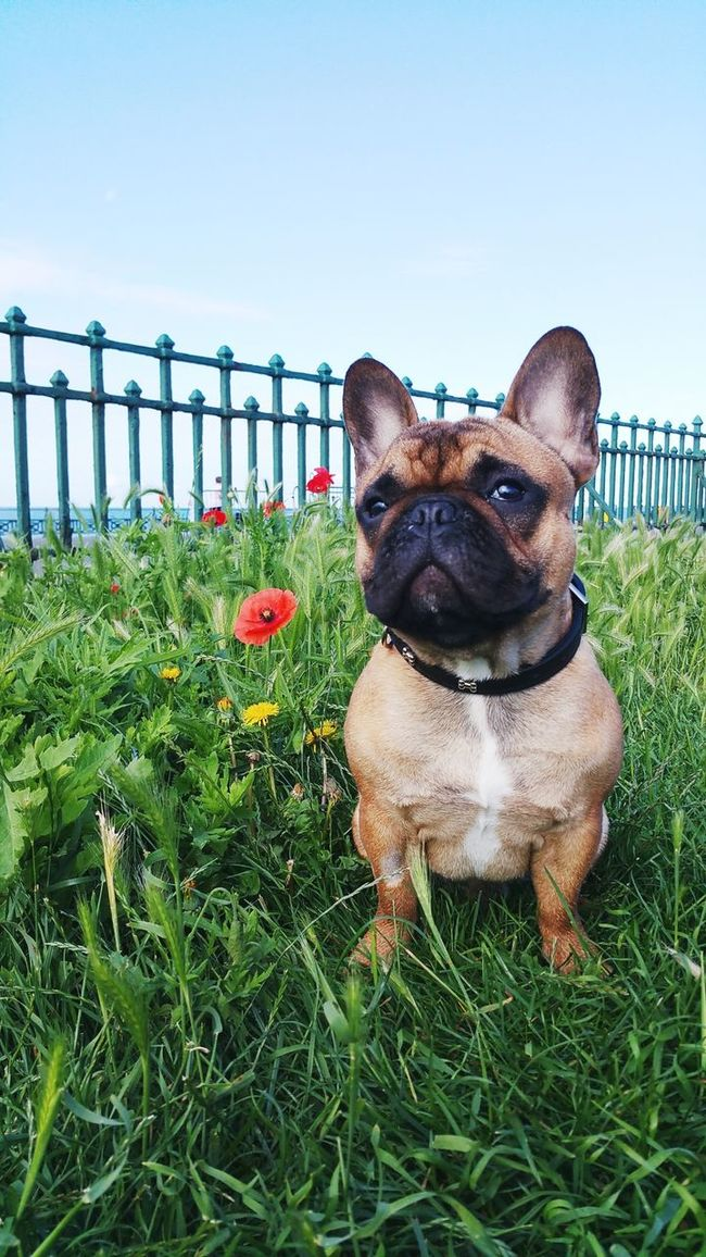 Domestic Animals Pets Domestic Animals Animal Themes Pets Dog One Animal Mammal Grass Clear Sky Front View Frenchbulldog Frenchie Doggy Doglife Dogsofinstagram Doggy Love Dog❤ animal Curiosity Loyalty Grassy Blue Day
