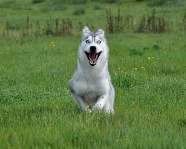 Blue Eyes Syberian Husky Animal Themes Border Collie Day Dog Domestic Animals Field Grass Green Color Growth Husky Mammal Nature No People One Animal Outdoors Panting Pets