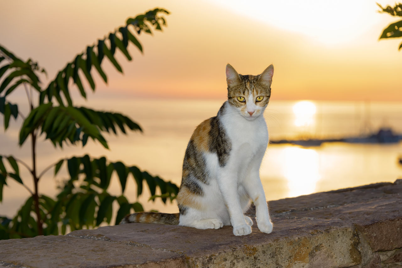 Cat, white with tortoiseshell tabby patches, sitting on a wall at the seaside during gorgeous sunset. Backlit Sunset Ocean View Tortoiseshelltabbycat Animal Caliby Calico Cat Calico Patched Tabby Cat Cats Cute Cats Evening Mood At The Sea Feline Gorgeous Sunset Greece Kitten Kitty Cat Seaside Setting Of The Sun Sun Sundown Sunset Tobi Mi-ke Tortoiseshell And White Tortoiseshell Cat Tricolor Cat
