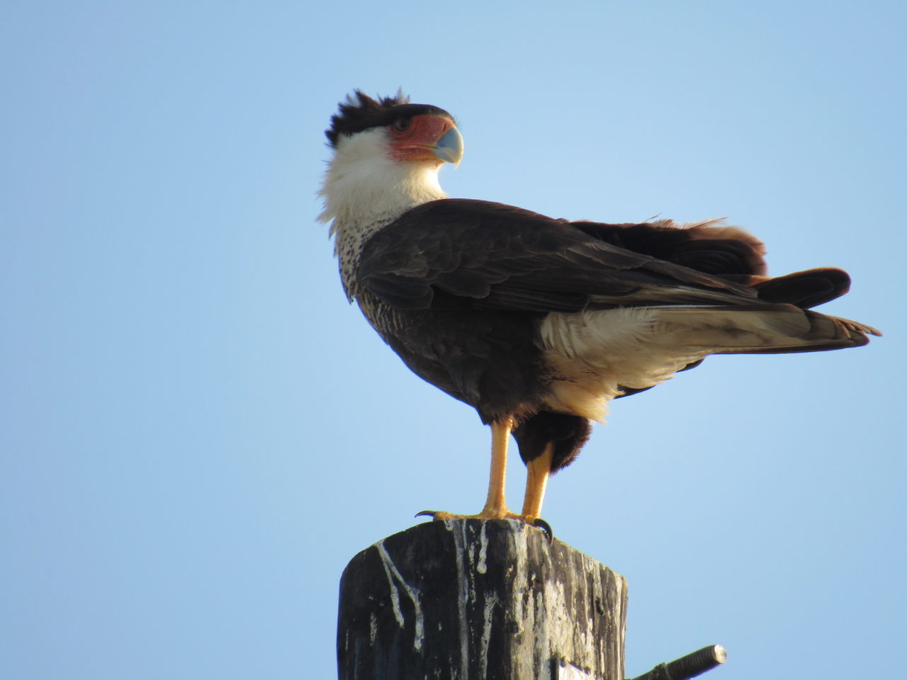 Northeastern Crested Caracara Bird Animal Themes Animals In The Wild Bird Bird Of Prey Clear Sky Close-up Day Full Length Low Angle View Nature No People One Animal Outdoors Perching Sky