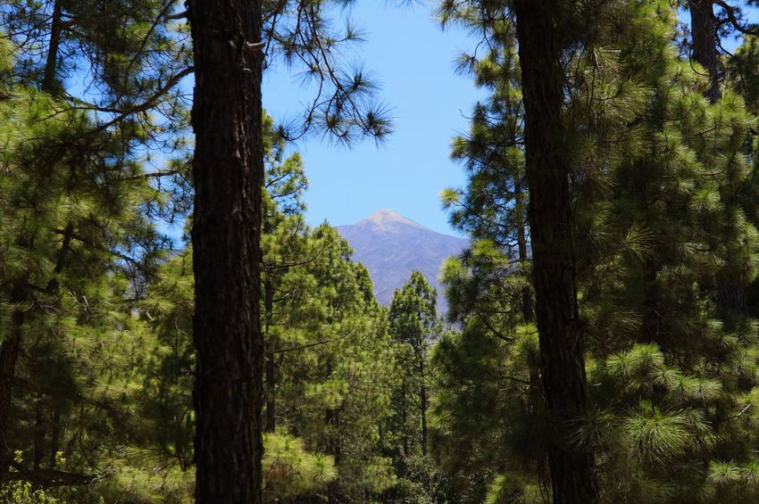Tree Growth Sky Nature No People Beauty In Nature Low Angle View Tranquility Green Color Day Scenics Outdoors Tenerife Landscape Vacations Volcano