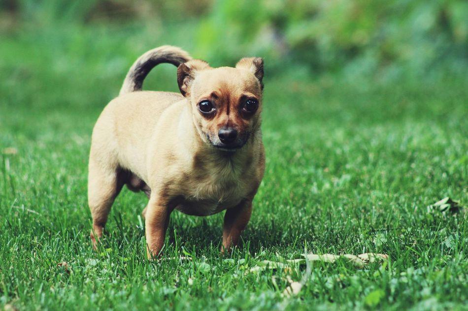 Beautiful stock photos of chihuahua, Animal Themes, Chihuahua - Dog, Color Image, Cute