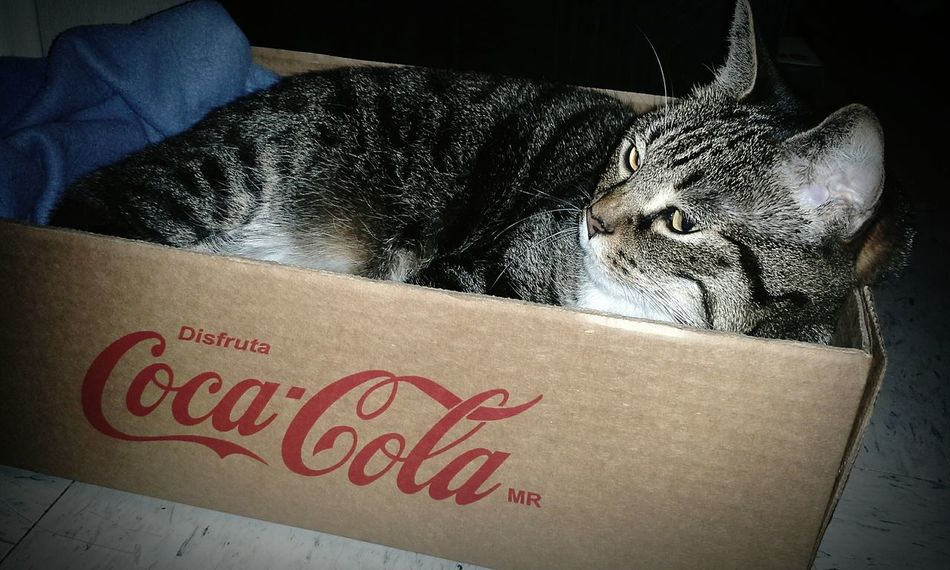 Catlover Coca-Cola, Label/logo/sign Coca-cola Catoftheday Cat Lovers Catlovers Cat♡ Cats Cat In The Box Cat