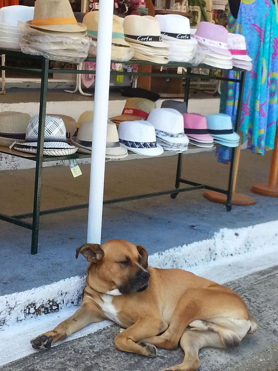 Adapted To The City Dog Dogslife Hats Siesta Salesdog Sleepy Sleeping On The Job