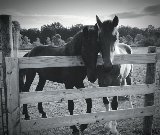 Athena and Fallen Hanging Out Horses Animals Photography Country Living Horse Photography  Horsepassion Horse Life Horse Black And White Coutrylife Friesian Two Is Better Than One
