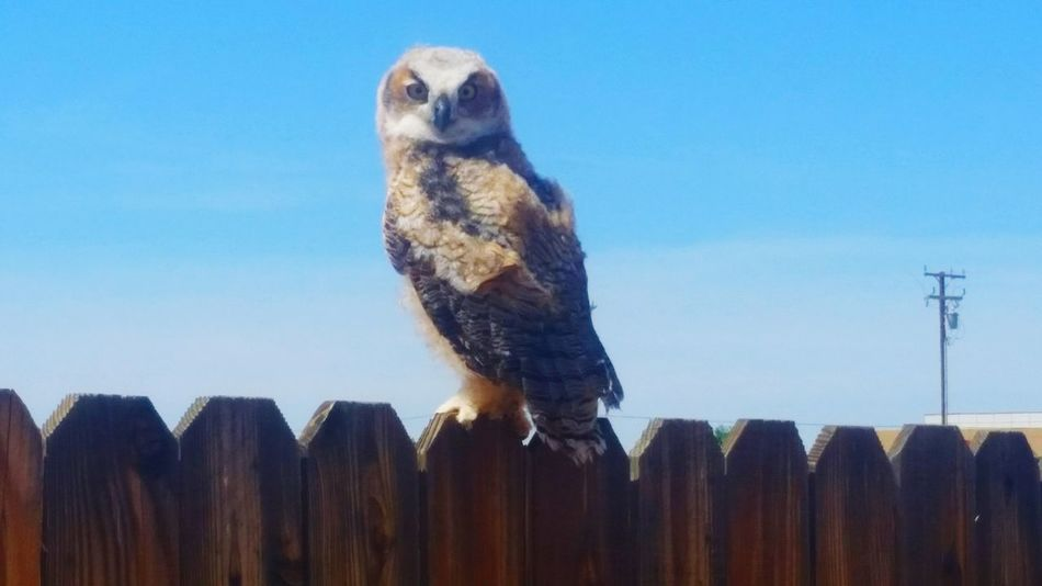 Animal Wildlife Bird Of Prey One Animal Nature No People Day Owl PerchingBird Watching Outdoors Bird Mammal Owl Photography Owls💕 Owl Eyes Owl On Fence Bird Photography Birds Bird Alien