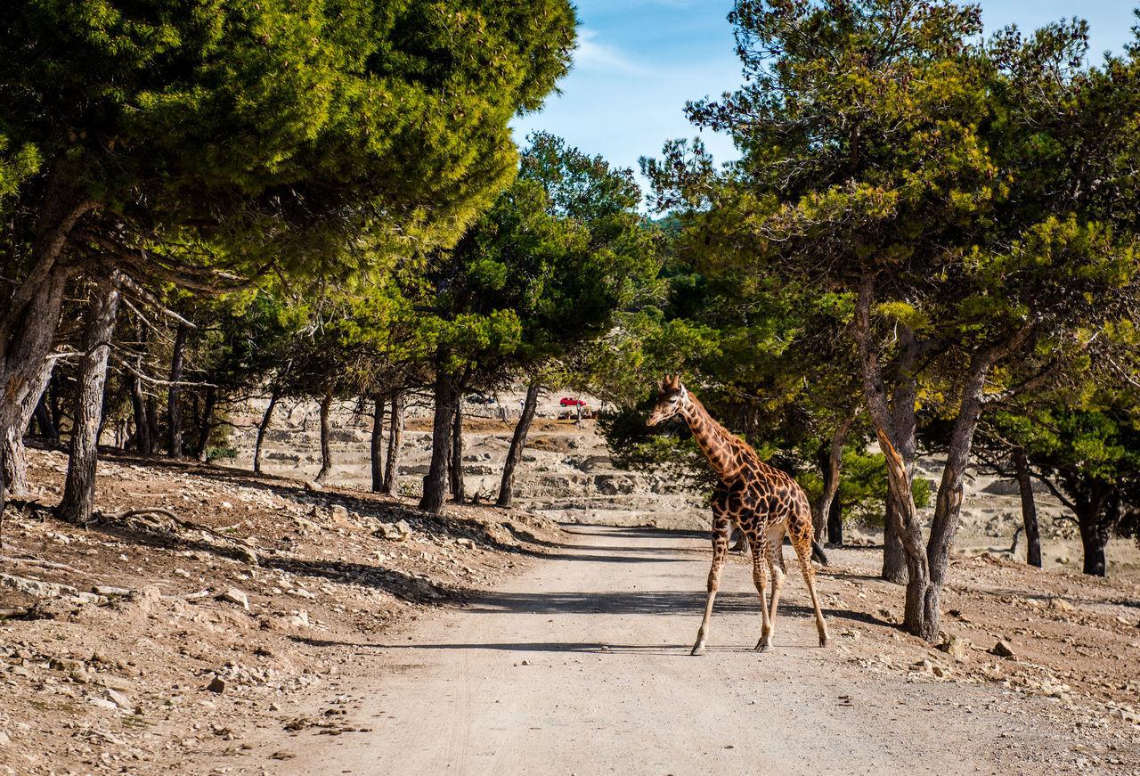 African giraffe outdoors. Spain African Aitana Animal Animal Themes Animals In The Wild Beauty In Nature Day Giraffe Habitat Herbivore Mammal Nature No People One Animal Outdoors Road Safari Animals Safari Park SPAIN Sunlight Sunny Day Tree Wild Wildlife Zoo