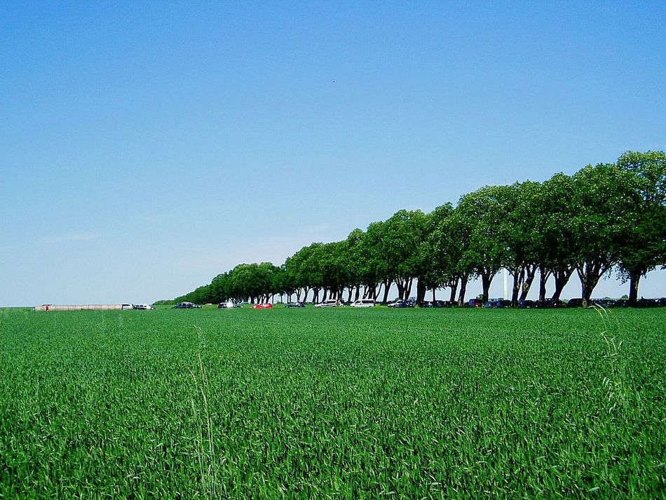 Open Country Field Corn Field Green Green Blue Blue Sky Trees Avenue Alley Nature Photography Nature Distantness Wideness In Line Trees In Line Landscapes Landscape Beauty In Nature Besutiful Nature