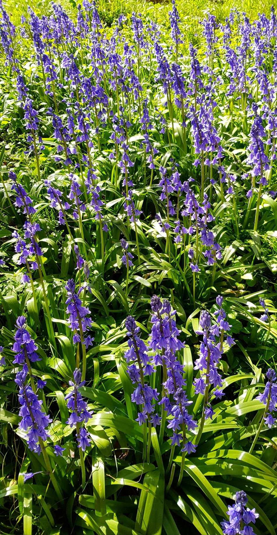 Bee Bluebells Bluebell Wood Springtime Spring Flowers Spring Flower Beauty In Nature Growth Nature Plant Day Purple Fragility Freshness Field Backgrounds Outdoors No PeopleGreen Color Full Frame Blooming Close-up Flower Head Flowers Nationaltrust Yoga Art Is Everywhere