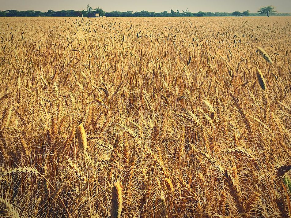 Beautiful wheat crops, 2 days before cutting Agriculture Wheat Field Crop  Nature Growth Beauty In Nature Day Landscape Rural Scene Farm No People Outdoors Cereal Plant First Eyeem Photo