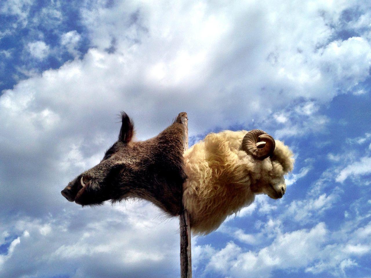 Beautiful stock photos of death, Animal Body Part, Animal Head, Bighorn Sheep, Cloud
