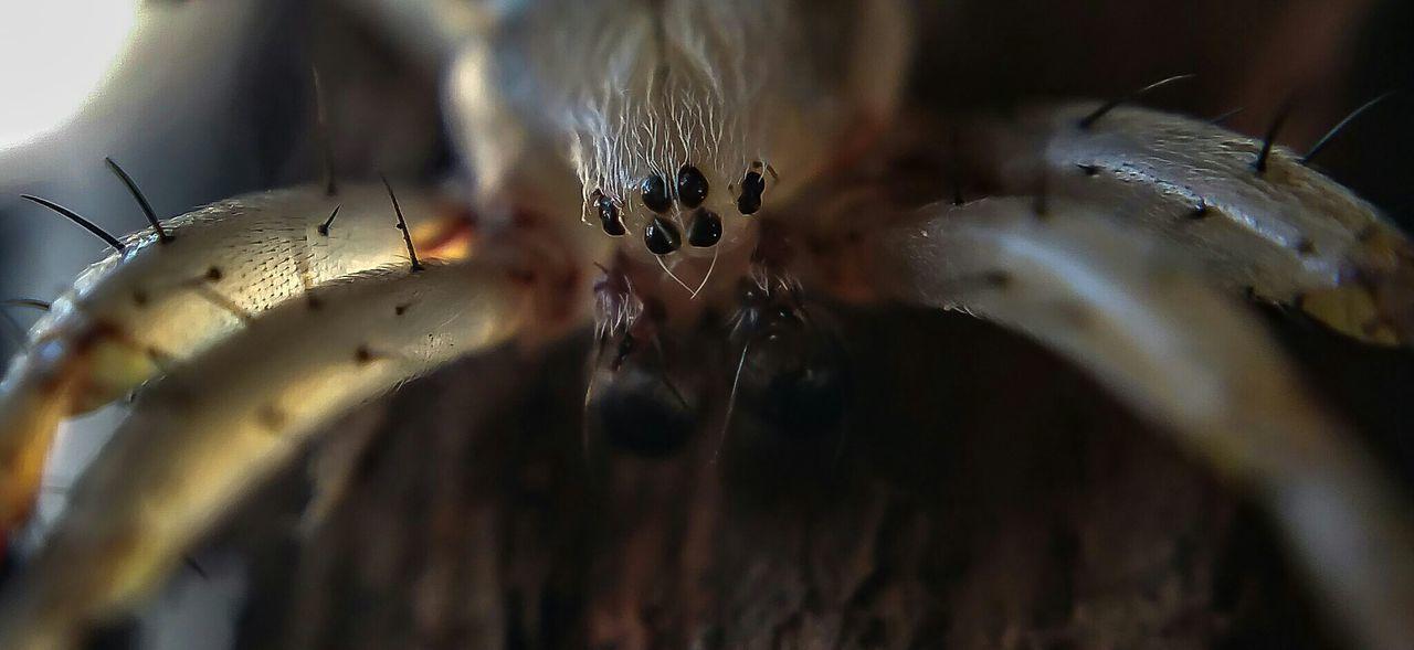 Attack Of The Macro Collection! Macro Photography Bug Portrait Macro Spider Arachnophobia Macro_collection Insect Paparazzi EyeEm Macro Eye