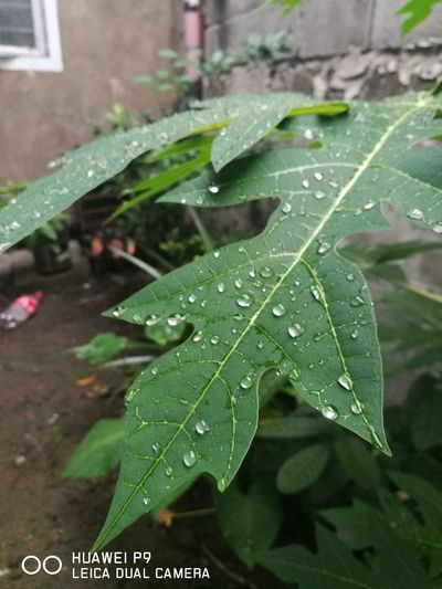 Leaf Wet Drop Rain Water Nature RainDrop Close-up Green Color Dew No People Outdoors Rainy Season Plant Growth Fragility Day Beauty In Nature Purity Freshness