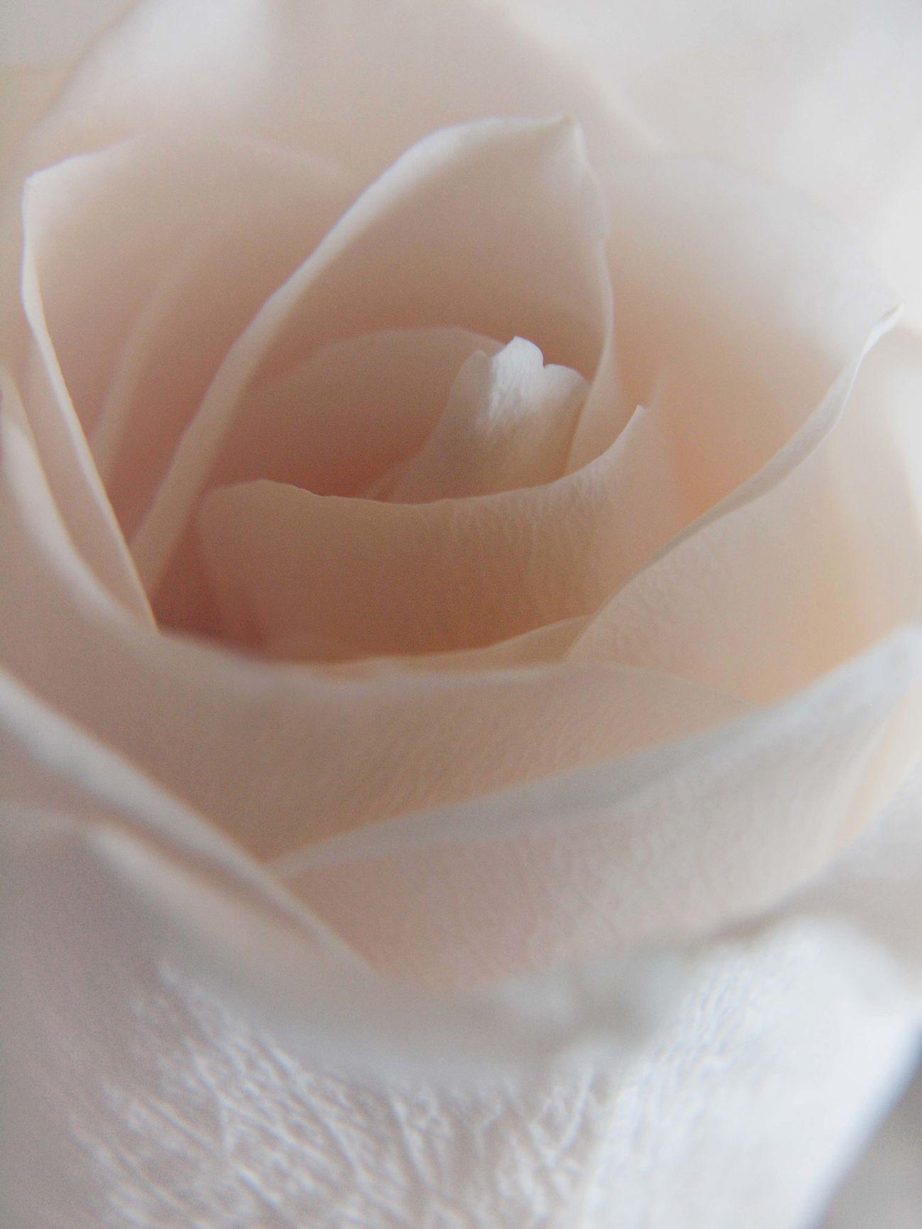 Petal Kisses Close-up Extreme Close-up Flower Fragility Gentle Rose Macro Petal Pink Color Rose - Flower Rosé Softness White