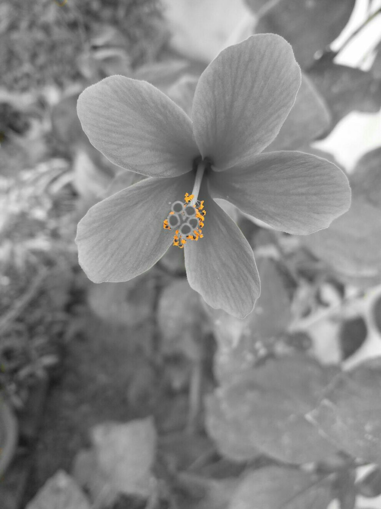 Blackandwhite Colorsplash My Best Photo 2015 Black And White Monochrome Black&white Flowers Flowerporn Flower Bnw Flower Collection Black & White Aiiko Inspired Aiikos Black.n.white