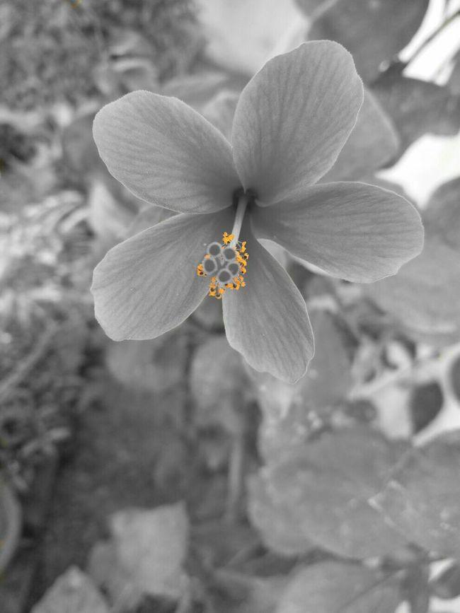 Blackandwhite Colorsplash My Best Photo 2015 Black And White Monochrome Black&white Flowers Flowerporn Flower Bnw Flower Collection Black & White Aiiko Inspired Aiikos Black.n.white
