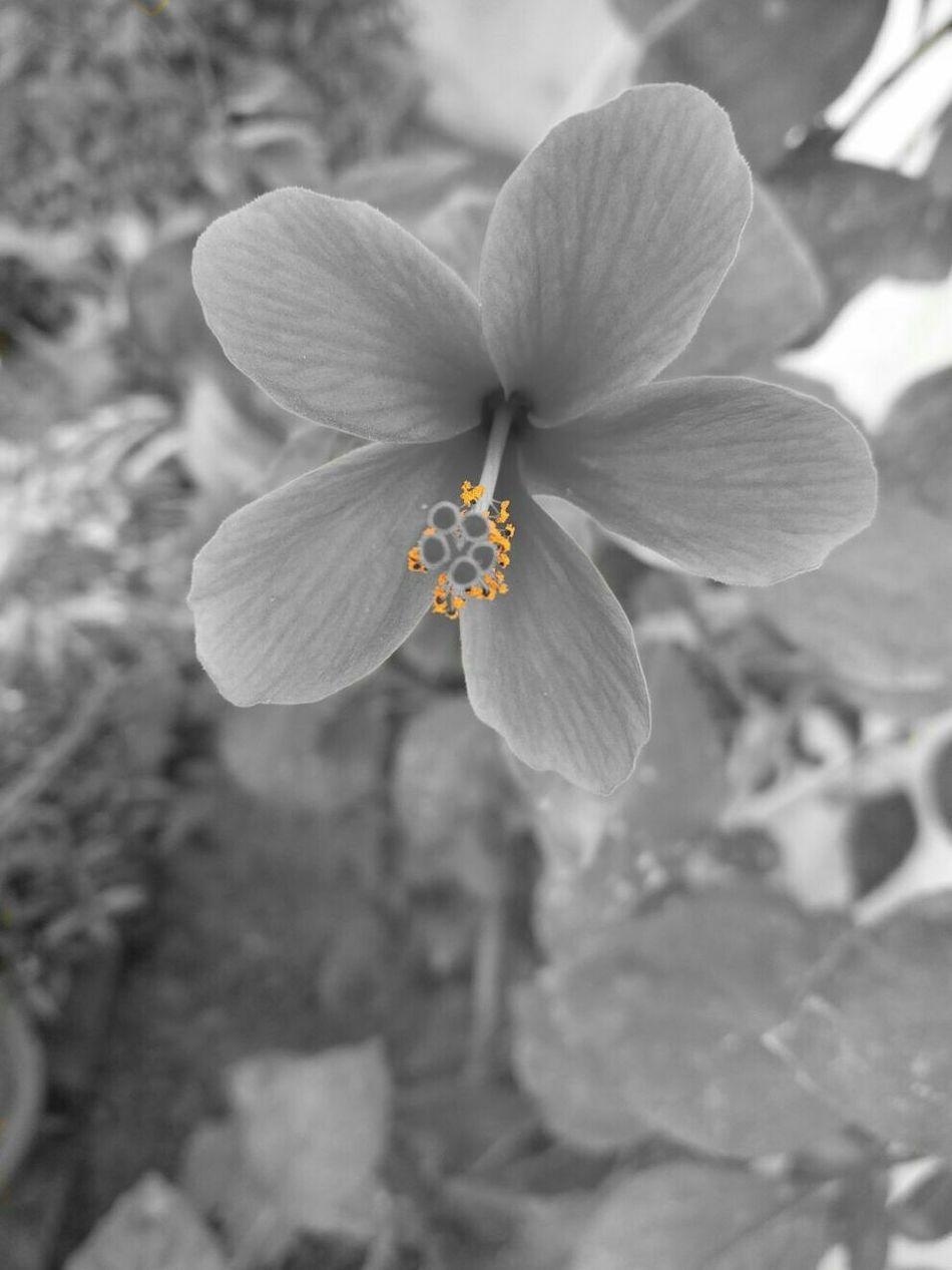 Blackandwhite Colorsplash My Best Photo 2015 Black And White Monochrome Black&white Flowers Flowerporn Flower Bnw Flower Collection Black & White Aiiko Inspired Aiikos Black.n.white Art Is Everywhere