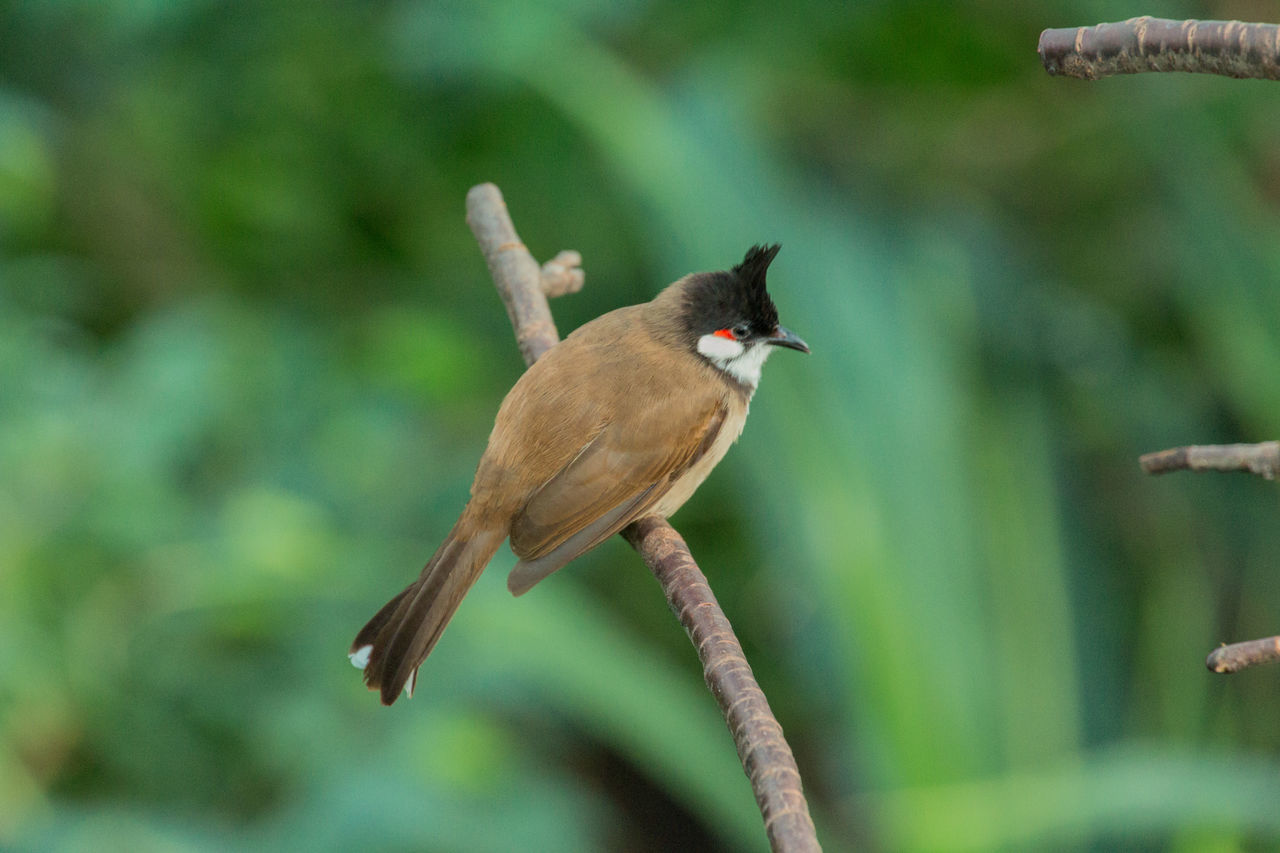 animal themes, animals in the wild, bird, focus on foreground, one animal, animal wildlife, nature, day, perching, no people, outdoors, sparrow, close-up