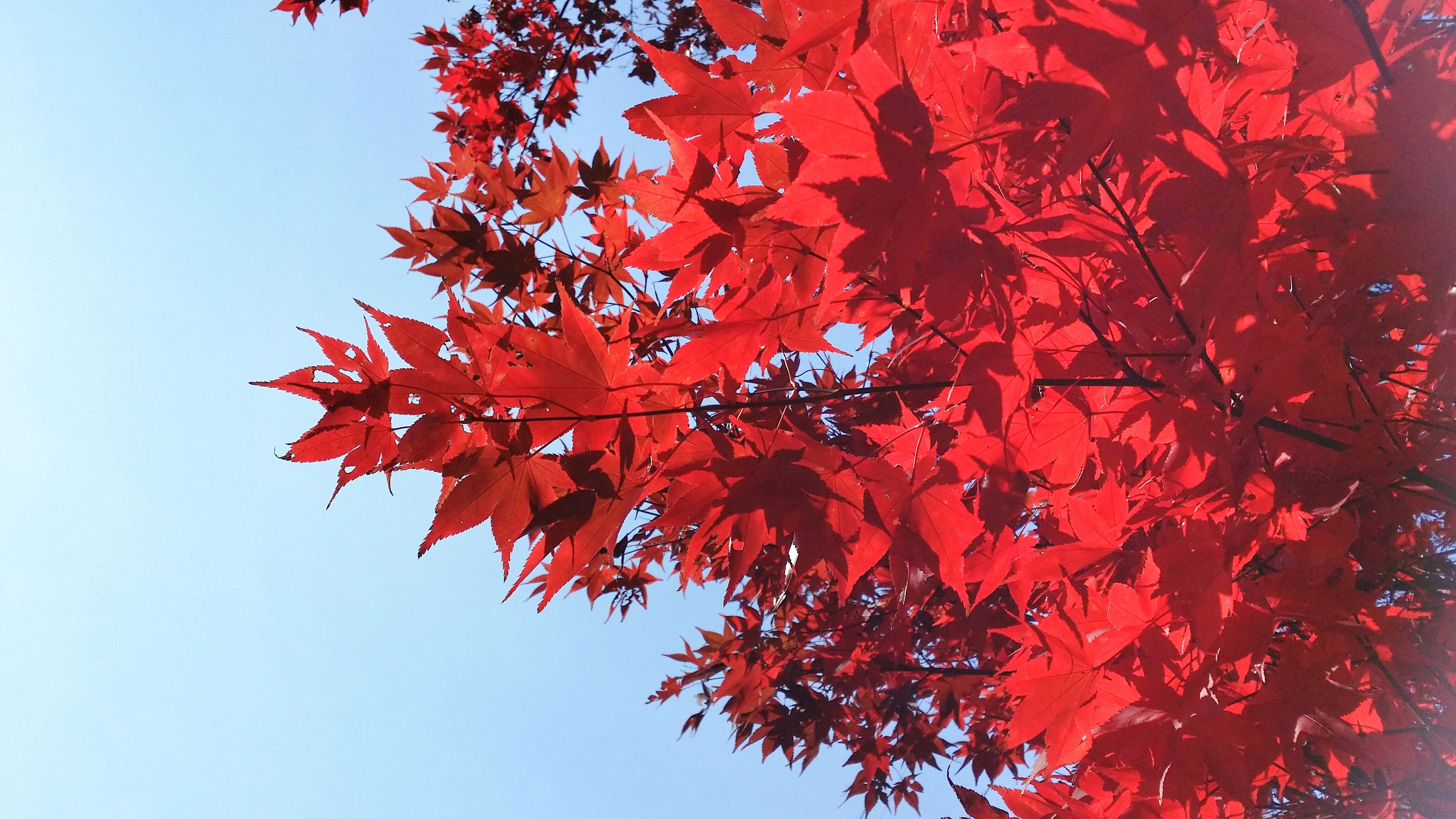 autumn, red, change, leaf, tree, season, branch, low angle view, growth, nature, orange color, beauty in nature, clear sky, maple leaf, tranquility, leaves, maple tree, day, outdoors, close-up