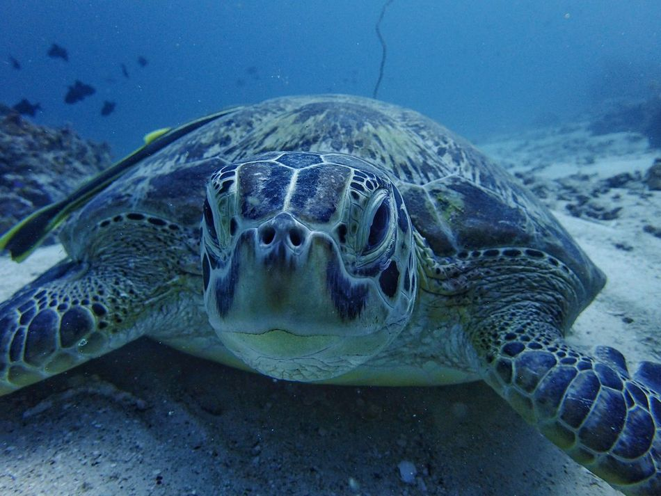 Close encounter- hawksbill turtle Sea Turtle Underwater Reptile Turtle One Animal Sea Life Animals In The Wild Animal Themes UnderSea Animal Wildlife Water Swimming Nature Sea Close-up Day No People Beauty In Nature Tortoise Shell Outdoors underwater