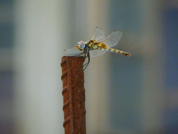 A dragonfly Taking Photos Nature_collection Streetphotography_bw Photography Naturelovers Insect Photography Insects