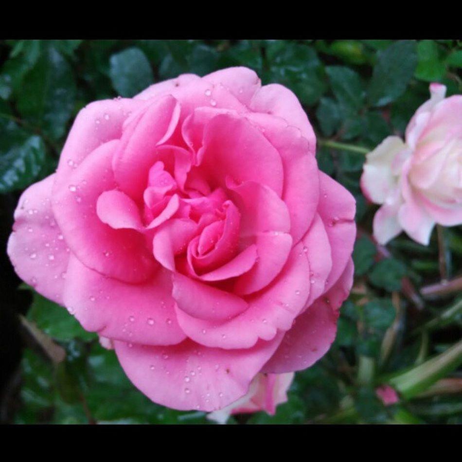 Still my favorite 🌺🌺🌼😘😘 Flower Rosé Pink Beauty Goodshot Instalike Instagallery Likeforlike Semogakausuka OKE