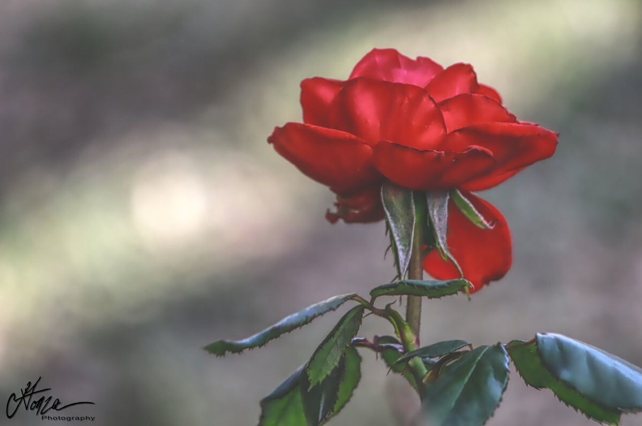 red, flower, petal, nature, beauty in nature, fragility, rose - flower, growth, focus on foreground, freshness, close-up, no people, flower head, plant, day, outdoors, blooming