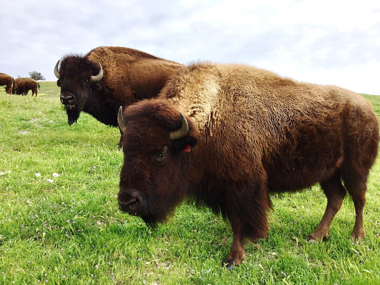 American Bison Bison Field Animal Themes Outdoors Mammal Grazing