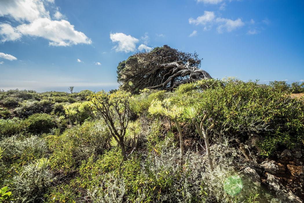 2016_02_ElHierro_Spain Atlantic Ocean Beauty In Nature Canary Islands El Hierro El Hierro Island Green Juniper Juniper Trees Landscape Landscape_photography No People Scenics SPAIN Tree Wind
