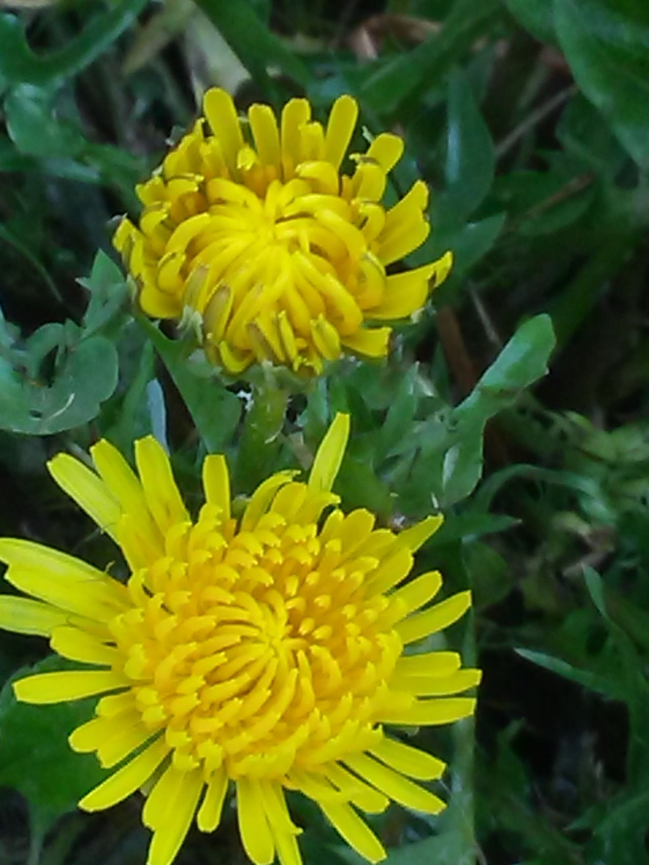 Yellow Flower Flower Head Petal Beauty In Nature Nature Freshness Fragility Growth Close-up Plant Focus On Foreground Leaf Blossom Blooming Pollen Outdoors Day No People Yellow Color
