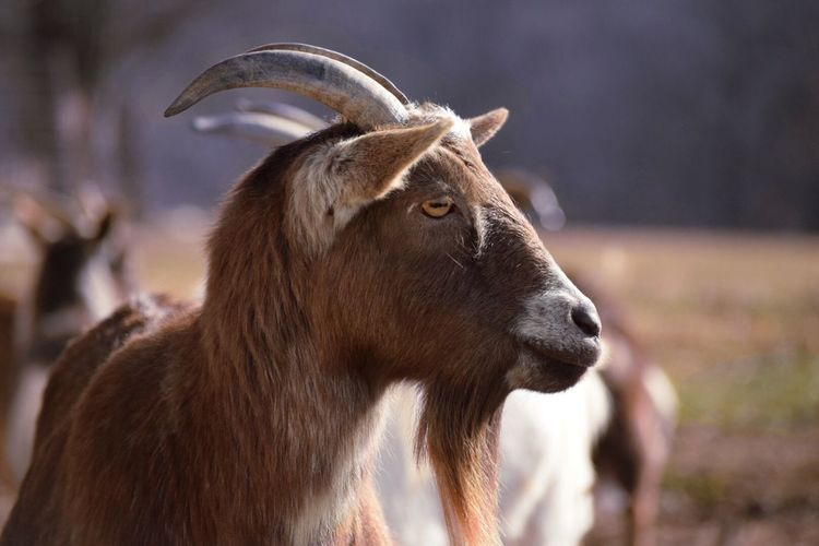 My Goat in the Driftless Region Wisconsin Animal Themes Bokeh Bokehlicious Mammal Outdoors Nature Sunny Animal Photography Focus On Foreground One Animal Goats Day EyeEmNewHere