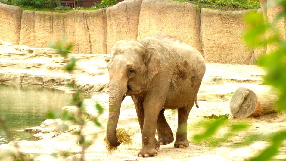 Elephant Photography Young Elephant Zoo Animal Themes Day Elephant Full Length Mammal No People One Animal Outdoors Sunlight Zoophotography
