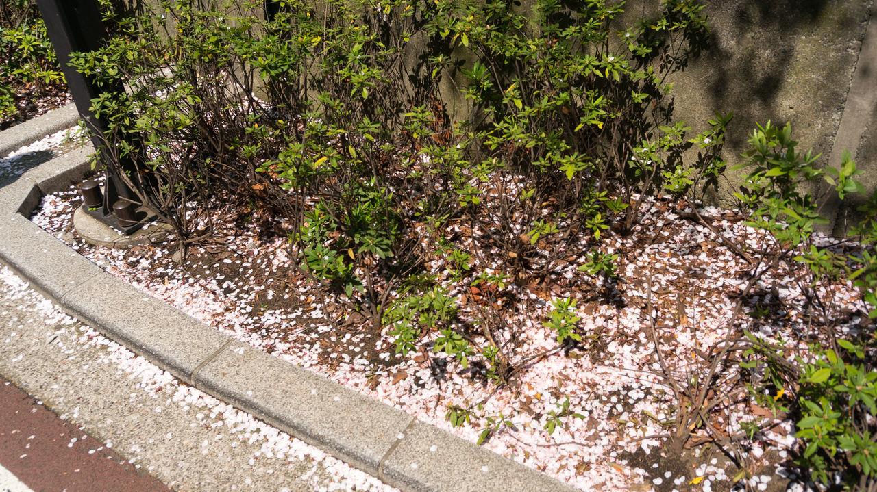 #sakura #sakurajapan #Tokyo Nature Outdoors First Eyeem Photo