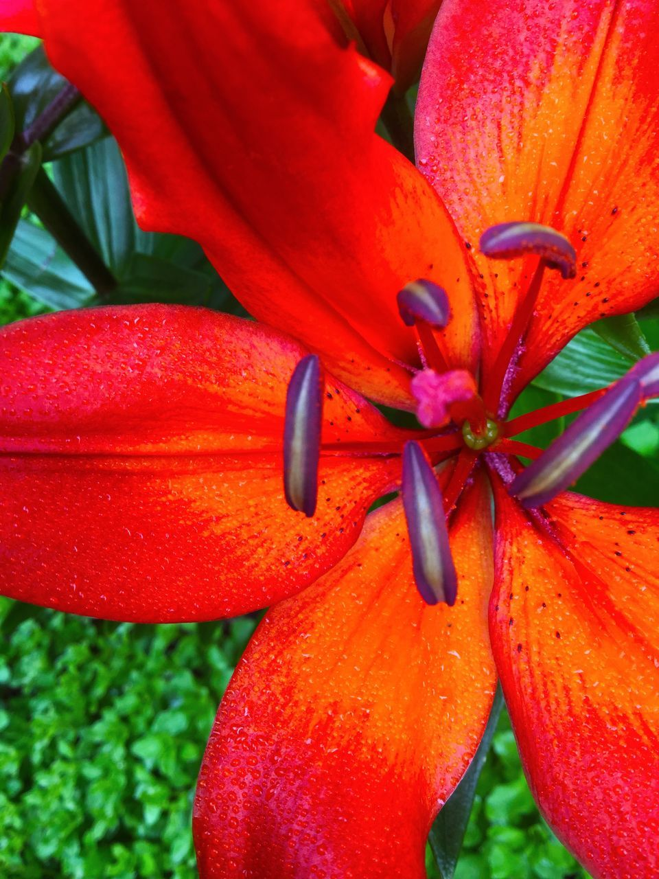 growth, orange color, beauty in nature, freshness, flower, red, nature, petal, no people, outdoors, day, flower head, plant, close-up, fragility, blooming, day lily